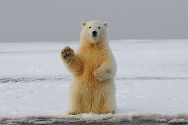 ours attaque