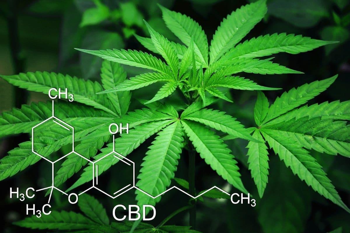 caractéristiques du cannabis 1