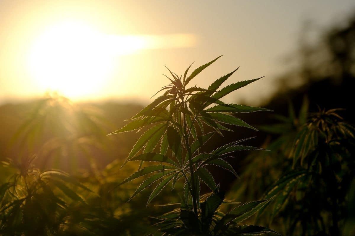 caracteristiques du cannabis 2
